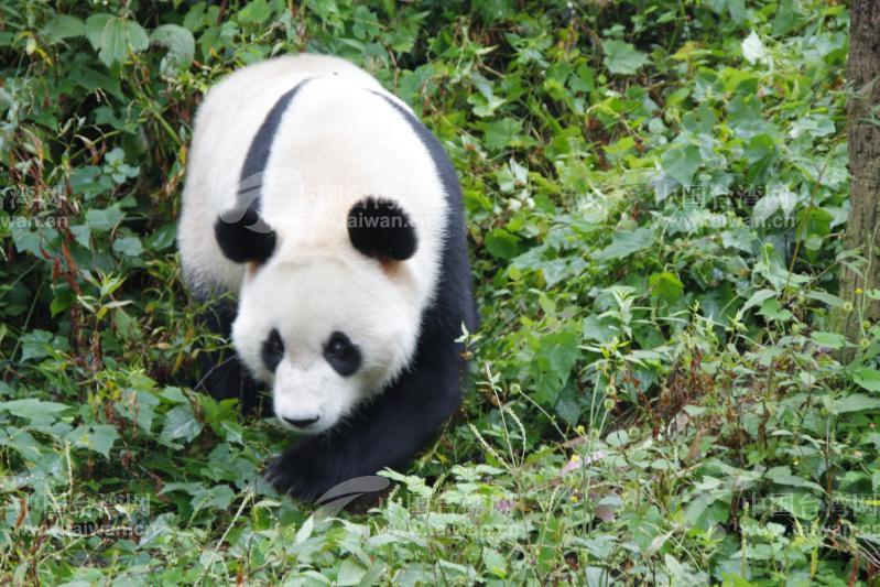 大熊猫是世界上最珍贵的动物,四川是大熊猫的故乡.