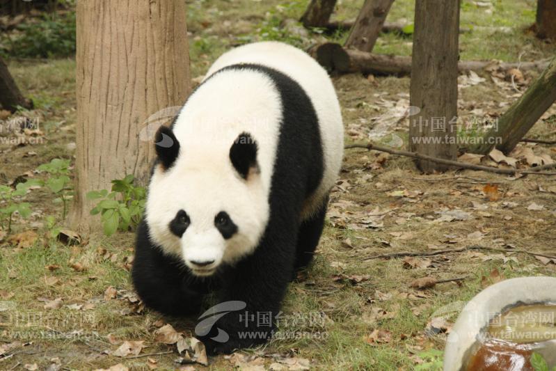熊猫趣图图片