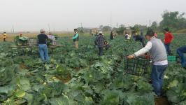 台湾嘉义县溪口乡菜农开放民众自采高丽菜每颗10元新台币
