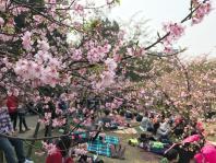 台湾新竹市丽池公园樱花盛开