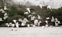在台南茄萣湿地度冬黑面琵鹭成鸟