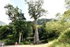 台湾南投樟树神木已千岁 成为东亚最老阔叶神木