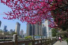 贵阳:梅开三月满眼春