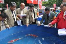 桃园市锦鲤研究协会举行鲤鱼博览会