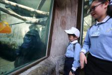 """台北动物园金刚猩猩""""宝宝""""即将启程前往荷兰灵长类公园"""