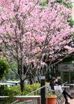 樱花树刻绽放 浓密的粉红花瓣着实令人惊艳