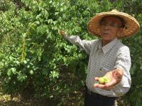 86岁台湾老农张庆隆种植2公顷、300多棵梅树
