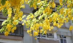 高雄市阿勃勒行道树开花,吸引民众前来拍照